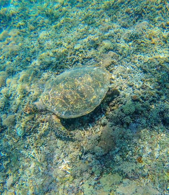 gili_turtle-1